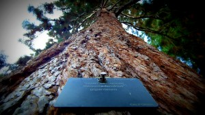 Kew Gardens Giant Sequoia