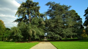 Kew Gardens conifers